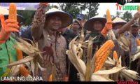 Panen Raya Jagung Dukung Swasembada Pangan